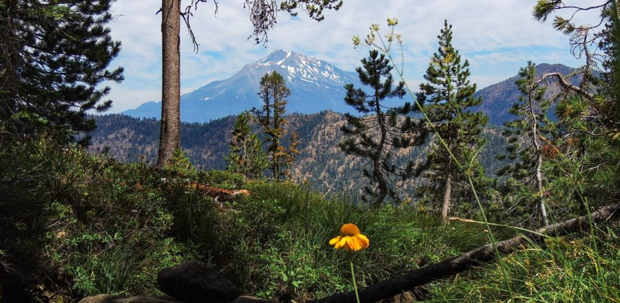 Flowers, trees and Mount Shasta